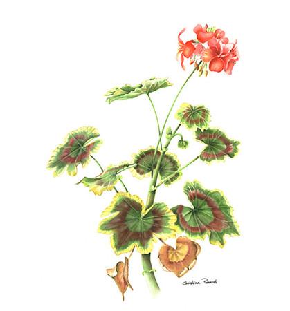 © <b>Christine Picard</b> - <i>Pelargonium</i>