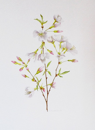 © <b>Paula Raudenbush</b> - Wild Cherry Branch