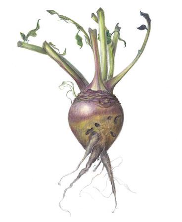 © <b>Gail Goodrich Harwood</b> - Turnip
