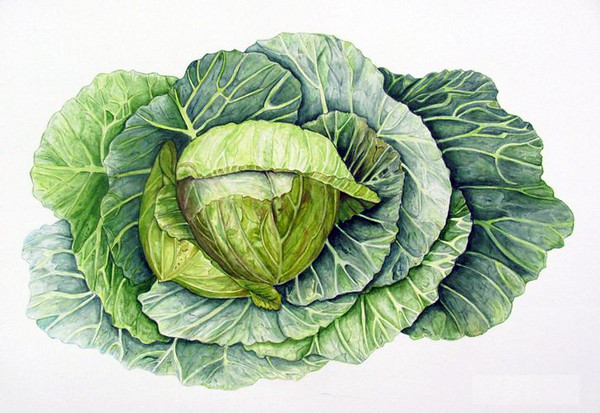© <b>Ellen Keane</b> - Cabbage