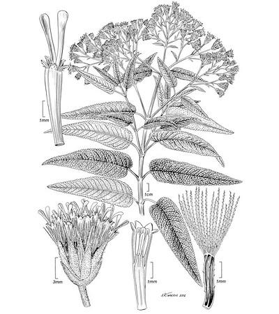 © <b>Alice Tangerini</b>-<i>Aristeguieta glutinosa</i> Smithsonian