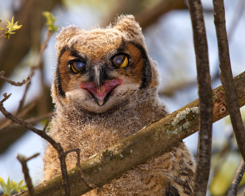 Blue Blockers - Great Horned owlet with protective eyelids partialy exposed - Beechwood Golf and Country Club, Niagara Falls