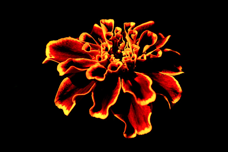 Flaming Marigold