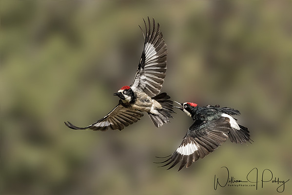 Fighting Acorn Woodpeckers