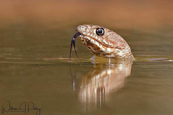 Swimming coachwhip snake