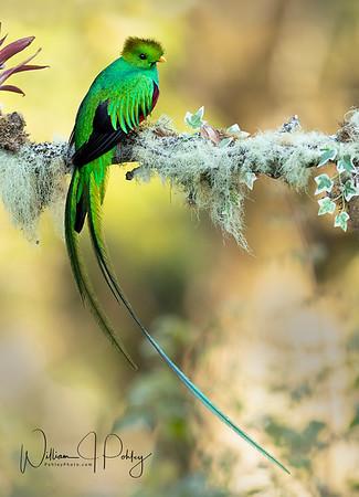 Resplendent Quetzal, Pharomachrus mocinno, Paraisal Quetzal, Costa Rica