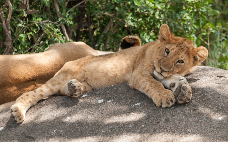 A young lioness rests at a kopje in Serengeti N.P., Tanzania.