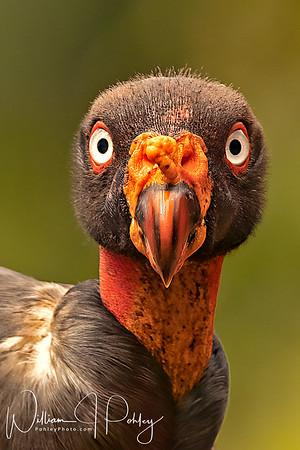 King Vulture, Sarcoramphus papa, Laguna del Lagarto Lodge, Boca Tapada, Pital, Costa Rica