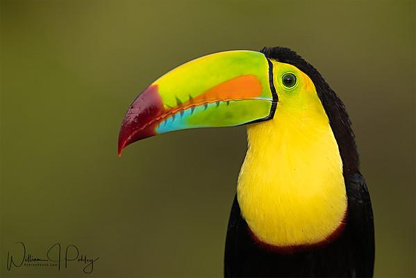 Keel-billed Toucan, Ramphastos sulfuratus, Laguna del Lagarto Lodge, Boca Tapada, Pital, Costa Rica