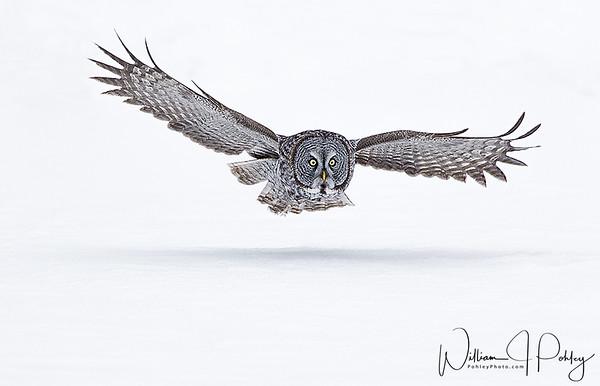 Great Gray Owl, Strix nebulosa, Manitoba, Canada