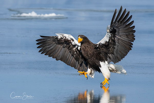 I'M COMING TO GET YOU - A Steller's Sea Eagle auditioning for the ministry of silly walks!