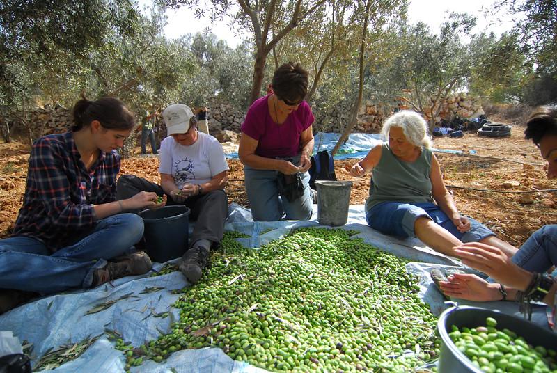 Volunteers of a JAI-ATG tour help collecting olives 參加了東耶路撒冷基督教男、女青年會舉辦的旅行團的成員在協助當地農民收集橄欖
