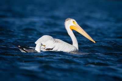 Pelican and friend