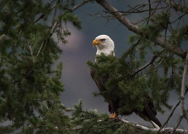 Eagle at Bayview Idaho
