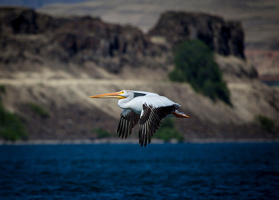 Pelican on the Columbia