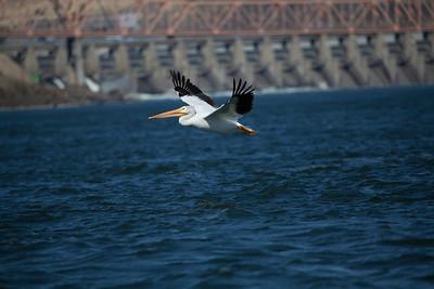 Pelican at the Dalles