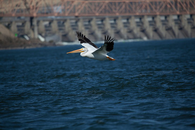 Pelican at the Dalles
