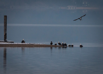 Gathering of Eagles at Coeur D Alene Lake