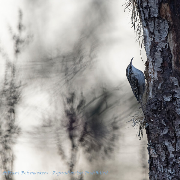 Boomkruiper; Certhia familiaris; Waldbaumlaufer; Treecreeper; Grimpereau des bois