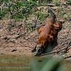 Rode neusbeer; Nasua nasua; South American coati; Coati roux; Coati à queue annelée; Südamerikanischer Nasenbär