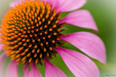 Flower of The Shakespeare Garden: 4