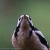 Dendrocopos major; Buntspecht; Great Spotted Woodpecker; Pic épeiche; Grote Bonte Specht