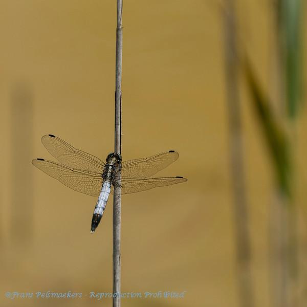 Witpuntoeverlibel; Orthetrum albistylum; Whitetailed skimmer; Östlicher Blaupfeil; Orthétrum à stylets blancs