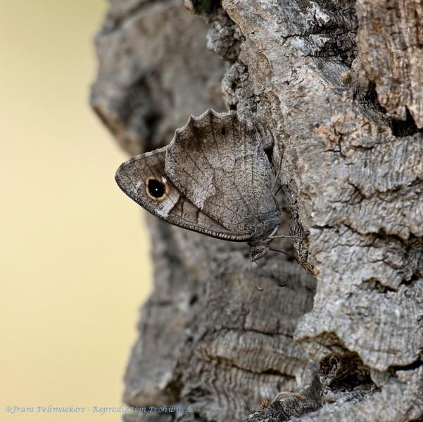 KleiKleine heivlinder Hipparchia statilinus Tree grayling Le Faune Arachné Coronis Eisenfarbige Samtfalter Kleine Rostbinde