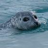 IJsland; Iceland; Jokulsarlon; Gewone zeehond; Phoca vitulina; Harbor seal; Phoque commun; Seehund; 2019
