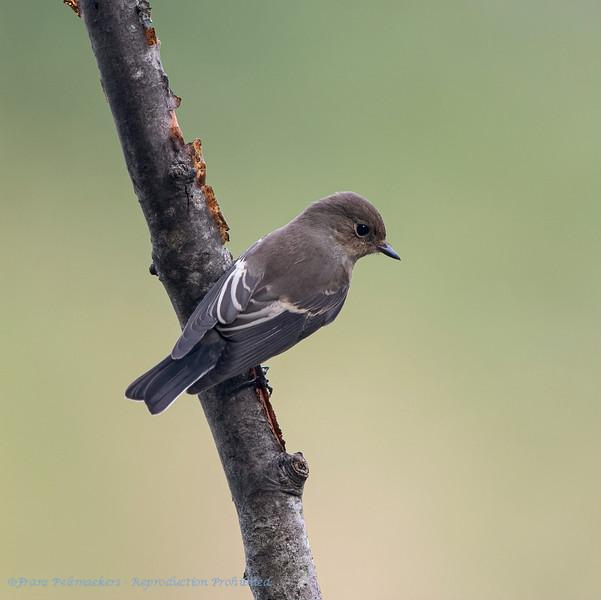 Bonte vliegenvanger; Ficedula hypoleuca; European pied flycatcher; Gobemouche noir; Trauerschnäpper