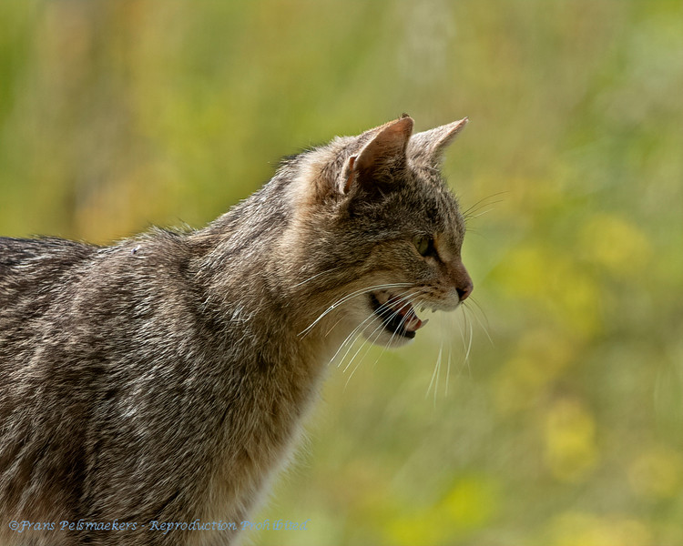 Wilde kat; Felis silvestris; Wildcat; Chat sauvage; Wildkatze; Chat forèstier;