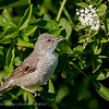 Sperwergrasmus; Sylvia nisoria; Barred warbler; Fauvette épervière; Sperbergrasmücke