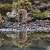 Bosmuis Apodemus sylvaticus Wood mouse Mulot sylvestre Waldmaus