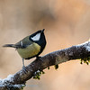 Koolmees; Parus major; Mésange charbonnière; Kohlmeise; Great Tit