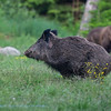 Everzwijn; Sanglier; Wild boar; Wildschwein; Sus scrofa