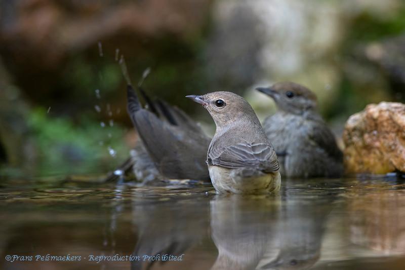 Tuinfluiter 2019 Sylvia borin Garden warbler Fauvette des jardins Gartengrasmücke