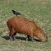 Capibara; Hydrochoerus hydrochaeris; Capybara; Waterzwijn