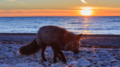 #blackfox#sunset#renardnoir#phototouranticosti#coucherdesoleil#renebourquephoto