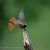 Rougequeue; Phoenicurus phoenicurus; Gartenrotschwanz; Redstart; Rougequeue à front blanc; Gekraagde Roodstaart