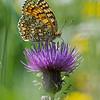 Knoopkruidparelmoervlinder; Melitaea phoebe; Knapweed fritillary; Mélitée des centaurées; Grand damier; FlockenblumenScheckenfalter
