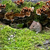 Rosse woelmuis Myodes glareolus Clethrionomys glareolus Bank vole Campagnol roussâtre Rötelmaus