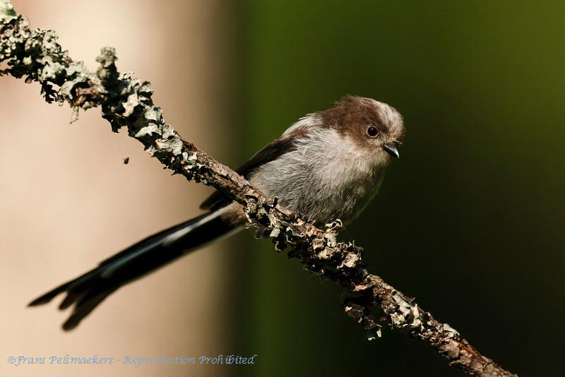 Aegithalos caudatus; Schwanzmeise; Long-tailed Tit; Mésange à longue queue; Staartmees