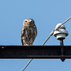 Steenuil; Athene noctua; Little owl; Chevêche d'Athéna; Steinkauz