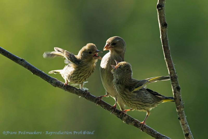 Carduelis chloris; Grunfink; Greenfinch; Verdier d'Europe; Groenling