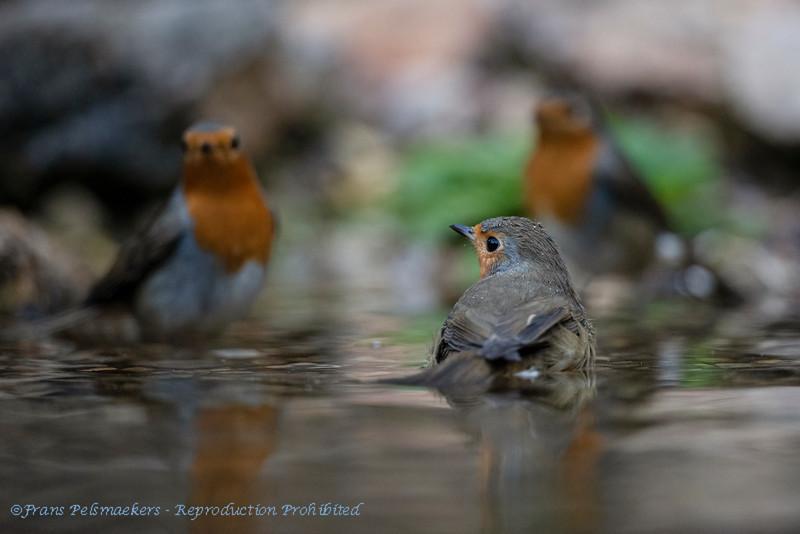 Erithacus rubecula; Rotkehlchen; Robin; Rougegorge familier; Roodborst