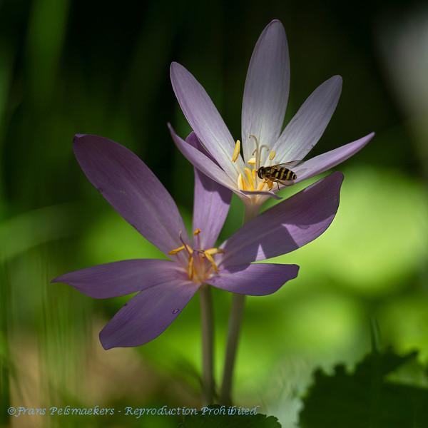Herfsttijloos; Colchicum autumnale; Meadow saffron; Colchique d'automne; Herbstzeitlose