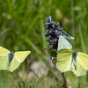Citroenvlinder; Le Citron; Zitronenfalter; Brimstone; Gonepteryx rhamni