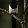 Ekster Pica pica Elster Magpie Pie bavarde