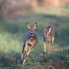 Ree Capreolus capreolus Roe deer Reh Chevreuil