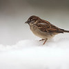 Passer domesticus; Haussperling; House Sparrow; Moineau domestique; Huismus